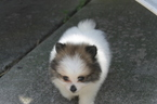 Pomeranian Puppy For Sale in MIDDLETOWN, OH, USA