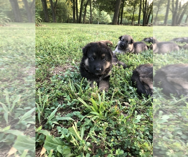 Medium Photo #1 German Shepherd Dog Puppy For Sale in GARLAND, KS, USA
