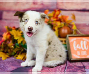 Border Collie Puppy for Sale in STRAFFORD, Missouri USA