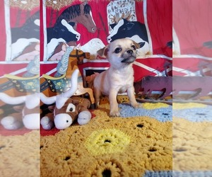 Chihuahua Puppy for sale in SOUTH WEST CITY, MO, USA