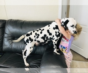 Dalmatian Puppy for Sale in CAMBRIA, Virginia USA