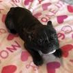 Small #4 French Bulldog