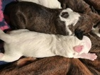 Boxer Puppy For Sale in MADISON, VA, USA