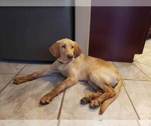 Labrador Retriever Puppy for sale in COLORADO SPRINGS, CO, USA