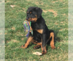 Adorable Purebred Rottweilers