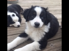 Miniature Australian Shepherd Puppy For Sale in SALINAS, CA