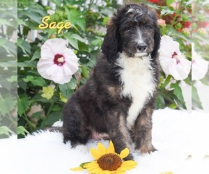 Bernedoodle Puppy for sale in MIFFLINBURG, PA, USA