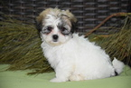 Zuchon Puppy For Sale in FREDERICKSBURG, OH, USA