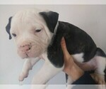 Puppy 10 American Bulldog
