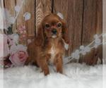 Puppy 1 Cavalier King Charles Spaniel