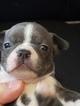 Blue Boston Terrier last one in Beeville Tx
