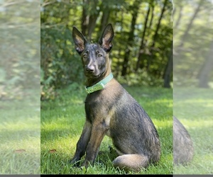 Belgian Malinois Puppy for sale in CORNING, NY, USA
