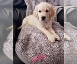 Golden Retriever Puppy For Sale in BLUFFTON, IN, USA