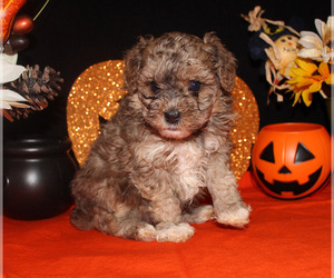 Poodle (Toy) Puppy for sale in CHANUTE, KS, USA