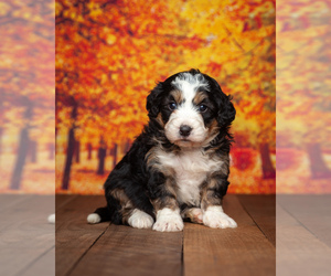 Miniature Bernedoodle Puppy for sale in ADDISON, MI, USA