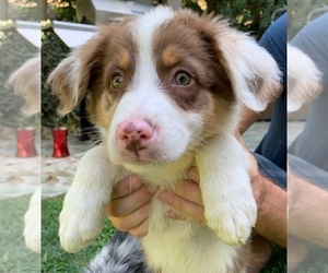 Australian Shepherd Puppy for Sale in MALIBU, California USA