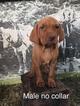 Vizsla Puppy For Sale in WARREN, OR,