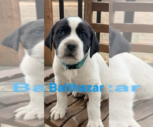 Great Pyredane Puppy for Sale in INCHELIUM, Washington USA