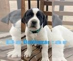 Puppy 1 Great Pyredane