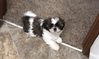 Shih Tzu Puppy For Sale in LEES SUMMIT, MO, USA