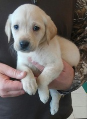 Labrador Retriever Puppy For Sale in KOKOMO, IN