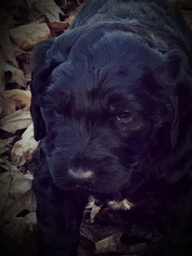 Labradoodle Puppy For Sale in TALKING ROCK, GA, USA
