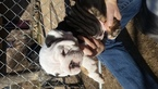 Bulldog Puppy For Sale in EUFAULA, OK