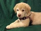 Chesapeake Bay Retriever Puppy For Sale in FLAGSTAFF, AZ
