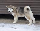 Alaskan Malamute Puppy For Sale in BROOKLYN, NY, USA