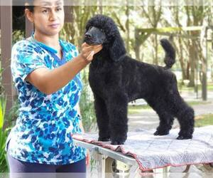Poodle (Standard) Puppy for sale in LITHIA, FL, USA