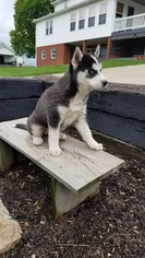 Siberian Husky Puppy For Sale in DUNDEE, OH, USA