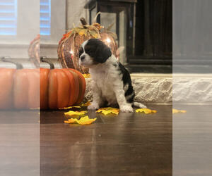Cavalier King Charles Spaniel Puppy for sale in CORINTH, TX, USA