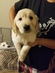 Golden Retriever Puppy For Sale in COLLEGE STATION, TX