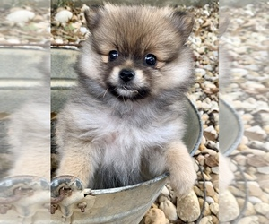 Pomeranian Puppy for Sale in ROME, Georgia USA