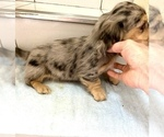 Small #1 Dachshund