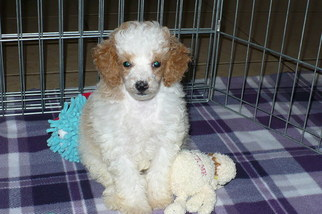 Poodle (Toy) Puppy for sale in TUCSON, AZ, USA