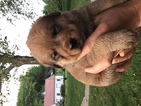 burlabza Mix Puppy For Sale in ARTHUR, IA, USA