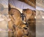 Basschshund Puppy For Sale in JAY, OK, USA