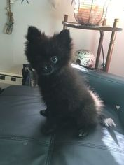 Pomeranian Puppy For Sale in ALLENTOWN, PA, USA