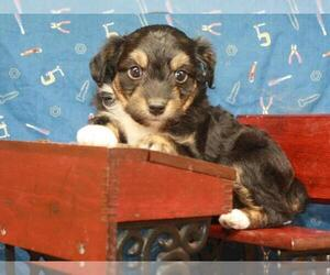 Australian Shepherd-Poodle (Toy) Mix Puppy for Sale in SHAWNEE, Oklahoma USA