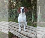 Small #438 English Coonhound Mix