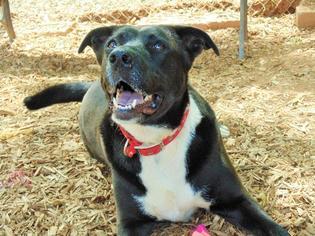 Oreo - Labrador Retriever / American Staffordshire Terrier / Mixed Dog For Adoption