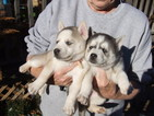 Siberian Husky Puppy For Sale in HOT SPRINGS, NC,