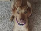 Rhodesian Ridgeback Puppy For Sale in LAKE JACKSON, TX, USA