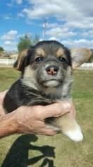 Pembroke Welsh Corgi Puppy For Sale in RAMONA, CA, USA