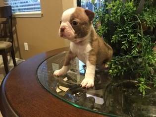 Boston Terrier Puppy For Sale in TRACY, CA