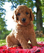 Goldendoodle-Poodle (Miniature) Mix Puppy For Sale in SALEM, OH, USA