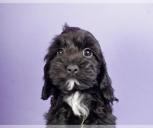 Cocker Spaniel-Poodle (Miniature) Mix Puppy for Sale in WARSAW, Indiana USA