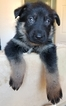 German Shepherd Dog Puppy For Sale in WARREN, MA,