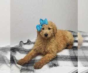 Goldendoodle-Poodle (Standard) Mix Puppy for sale in NORWOOD, MO, USA